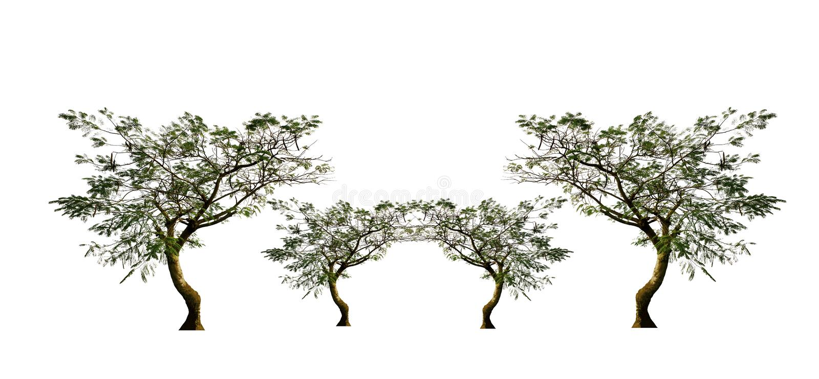Set of trees, flame tree, isolated on white background. Set of flame tree isolated white background plants agriculture fruit  local-fruit land landscape view royalty free stock image