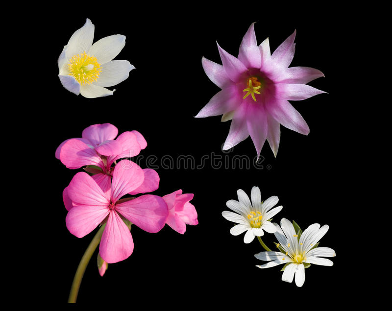 Download Set of flowers on black 1 stock image. Image of pink - 12928325