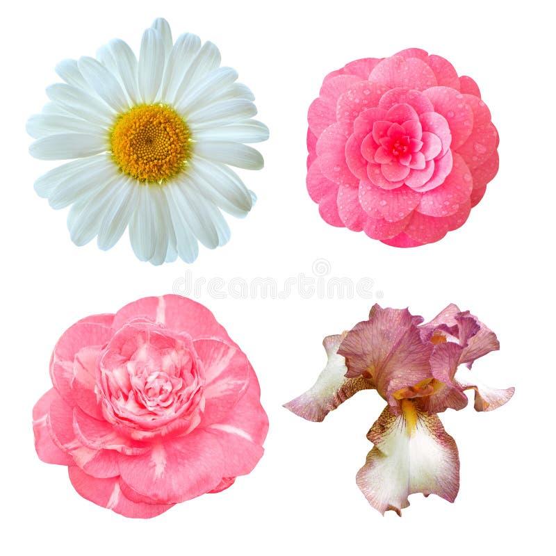 Set of flowers: japanese camellia, iris, daisy flower. Set of flowers: japanese camellia, iris, daisy flower isolated on white background royalty free stock images
