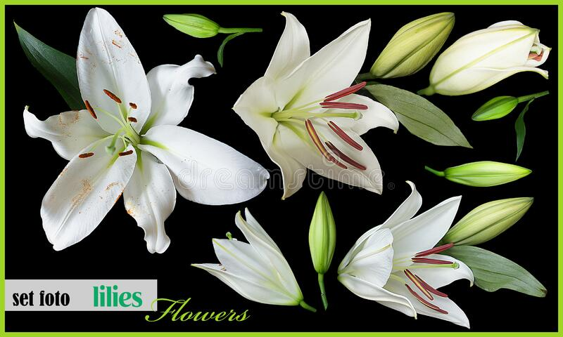 Set flowers lilies isolated on black background royalty free stock photography