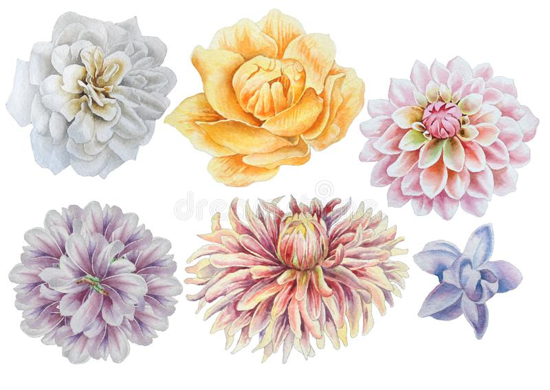 Set with flowers. Rose. Peony. Dahlia. Watercolor illustration. Set with flowers. Rose. Peony. Dahlia Watercolor illustration Hand drawn royalty free illustration