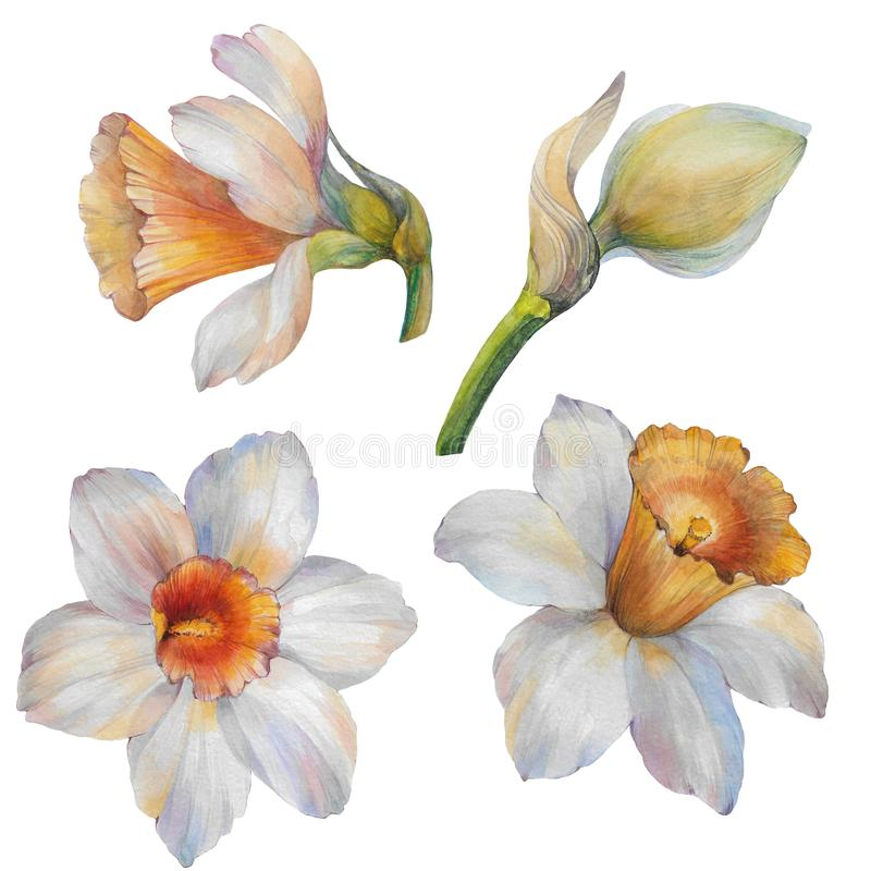 Set of watercolor flowers narcissus. Watercolor illustration. stock illustration