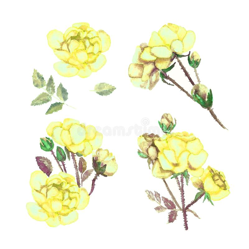 Set flowers of yellow roses, isolated on white background stock images