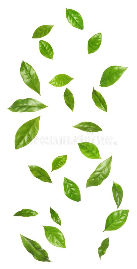 Set of flying fresh green coffee leaves royalty free stock photos
