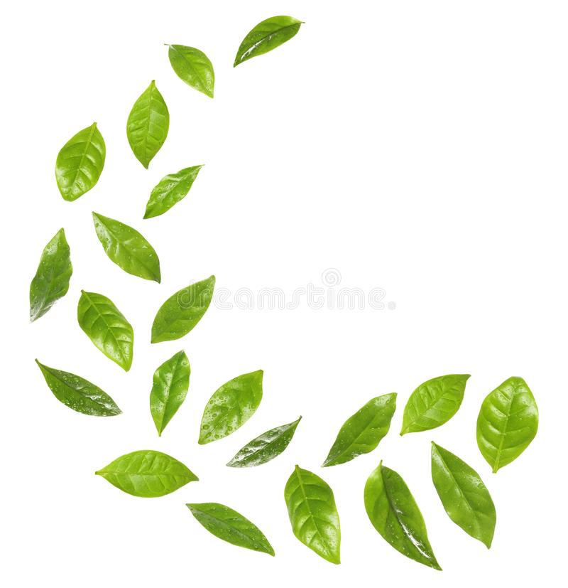 Set of flying fresh green coffee leaves on white stock photography