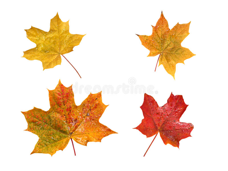 Set of four autumn maple leaves with water drops stock photography