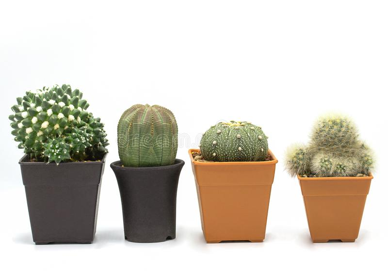 Set of four cactus isolated on white background - Image,Copy space,Closeup royalty free stock photos