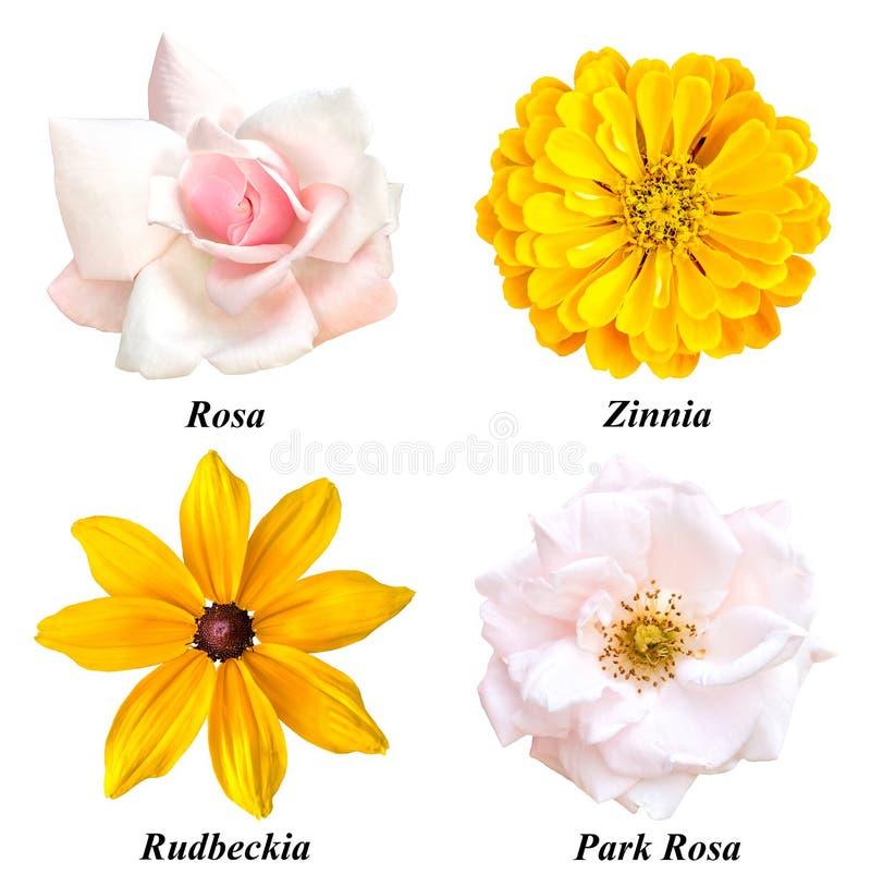 Set of four colors: rose, zinnia, rudbeckia, park rose stock image