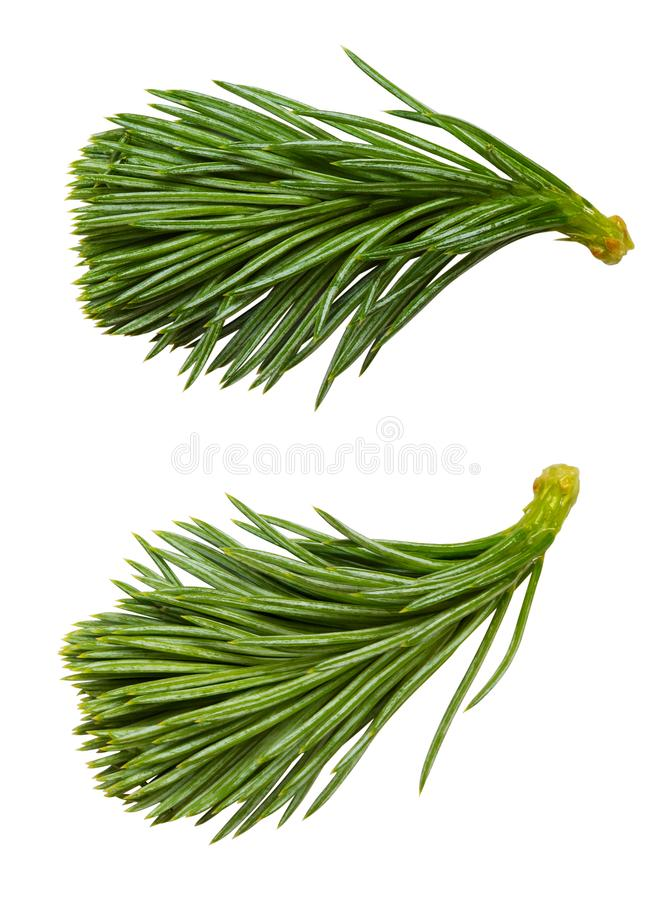 Set of fresh fir-tree branch royalty free stock photography
