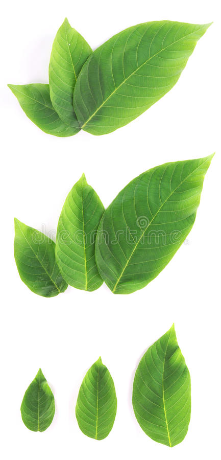 Download Set Of Fresh Green Leaves Royalty Free Stock Photos - Image: 25080798