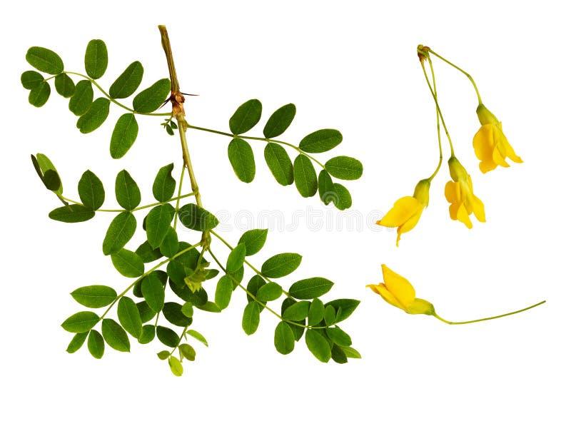 Set of fresh green leaves and yellow flowers of Siberian peashrub royalty free stock photo
