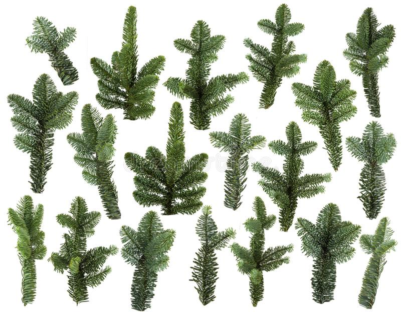 Set of fresh green pine branches isolated stock photos