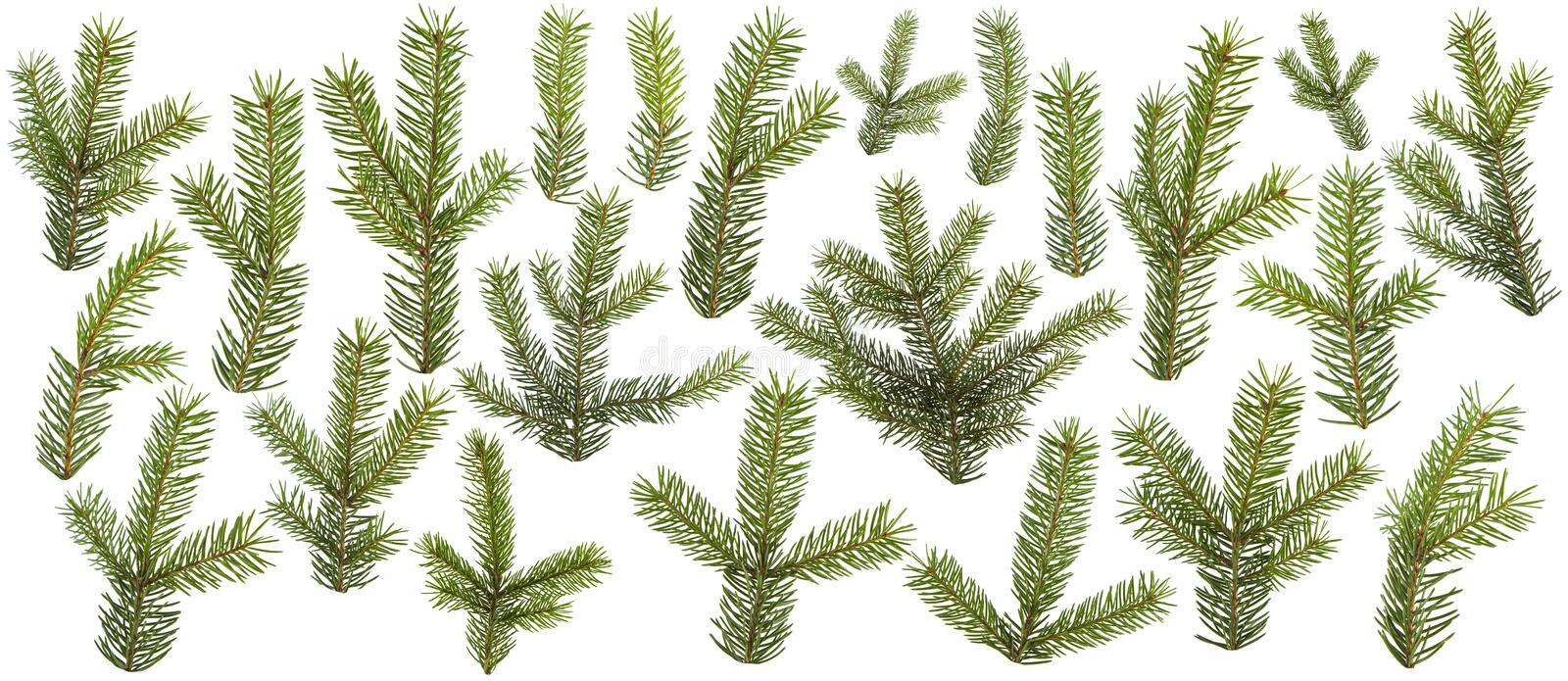 Set of fresh green pine branches isolated. On white background royalty free stock photography