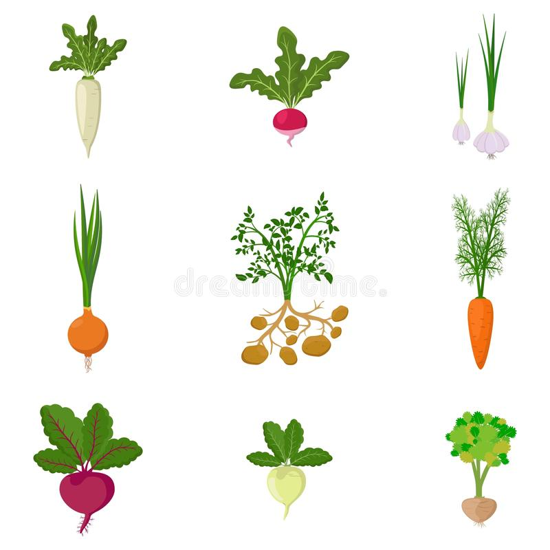 Set of fresh organic vegetable garden isolated on white background. Different kind root veggies: carrot, onion, potatoes vector illustration