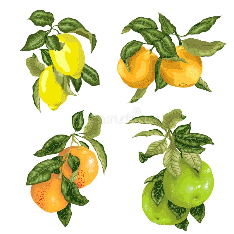 Set with fruits in vector such as lime, lemon, orange, pomelo and grapefruit in graphic illustration. Design stock illustration
