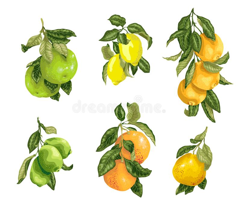 Set with fruits in vector such as lime, lemon, orange, pomelo and grapefruit in graphic illustration. Design vector illustration