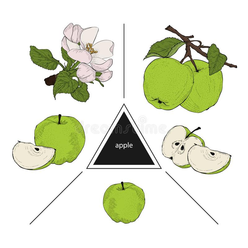 Set of fruits: whole apples, half apple and a slice of apple. Blooming apple trees. Vintage style. Hand drawn sketch on white back. Ground. Design elements for royalty free illustration