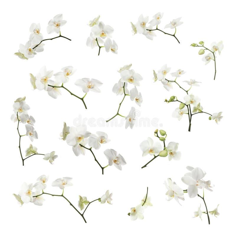Set gałąź z pięknym storczykowym phalaenopsis kwitnie obrazy royalty free
