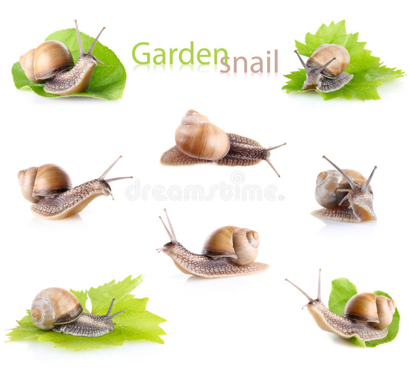 Set garden snail (Helix aspersa). On white background royalty free stock photography