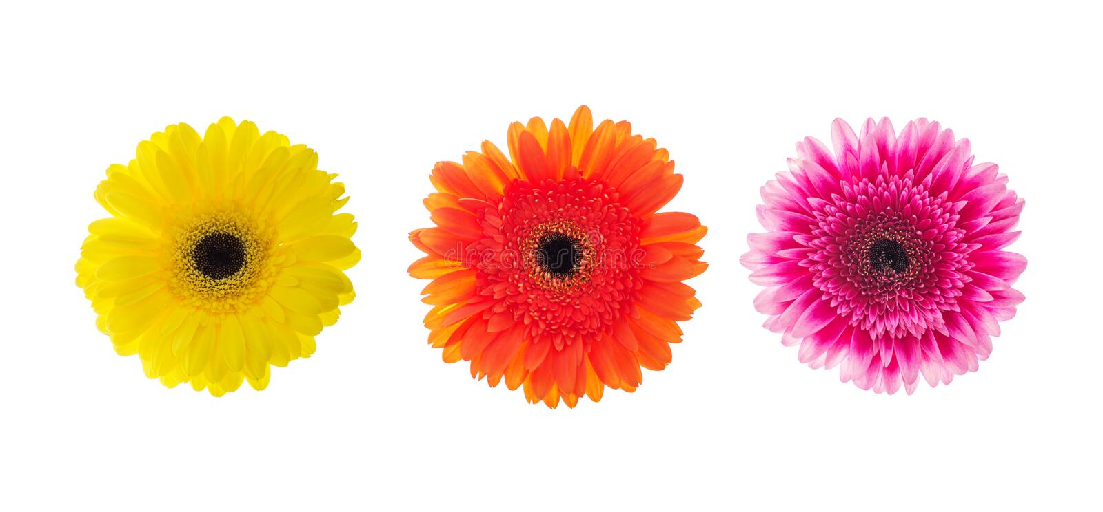 Set of gerbera flowers head isolated on white royalty free stock photo
