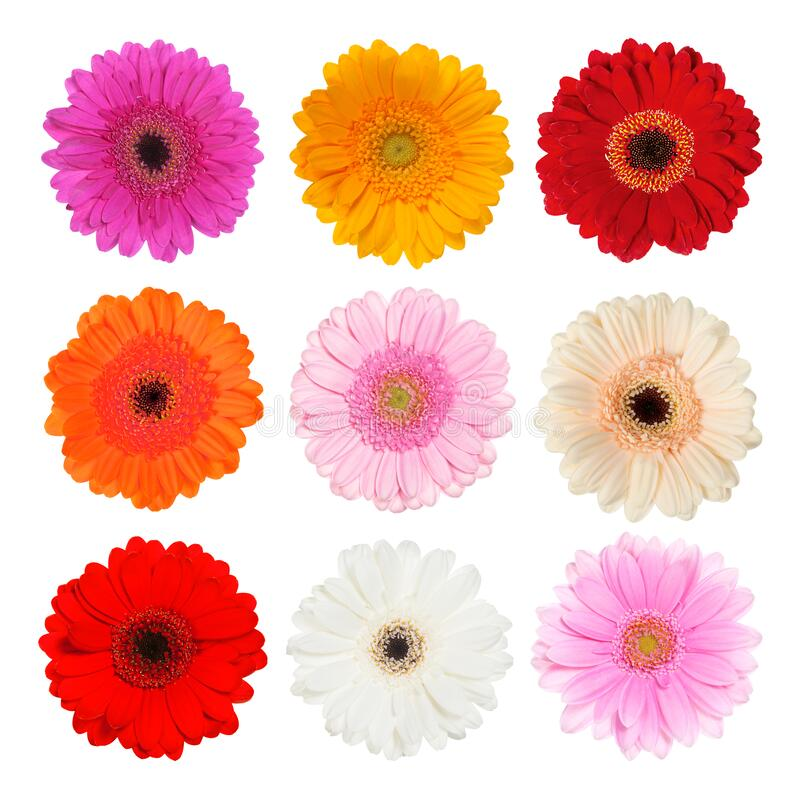 Set of gerbera isolated on white royalty free stock photography