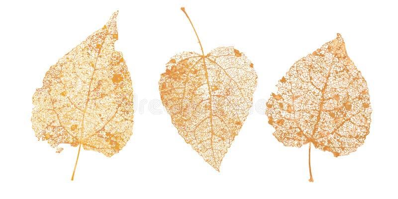 Set of golden leaves skeletons. Fallen foliage for autumn designs. Natural leaf of aspen and birch. Vector illustration.  royalty free illustration