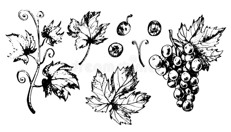 Set of grapes leaves and berries stock images