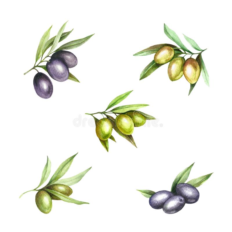 Set with green and black olives. Hand draw watercolor illustration. vector illustration
