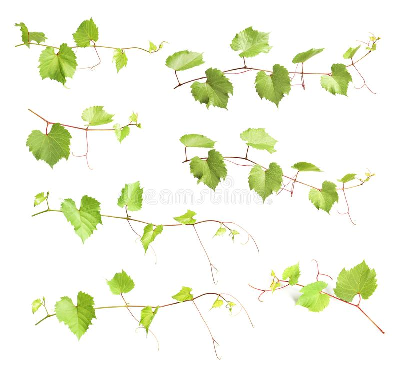 Set with green grape branches. On white background stock image