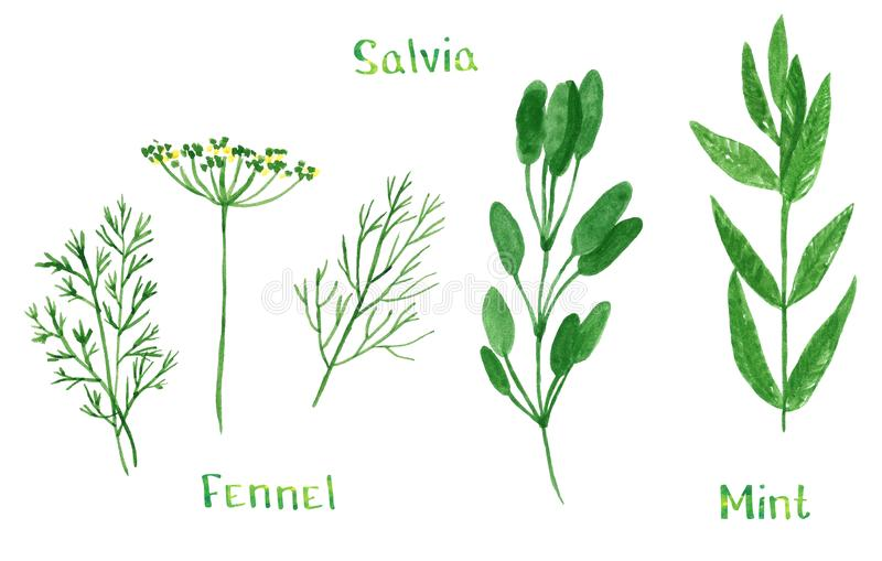Set of green herbs, dill, fennel, sage, salvia, mint. Hand drawn watercolor illustration isolated on white royalty free illustration