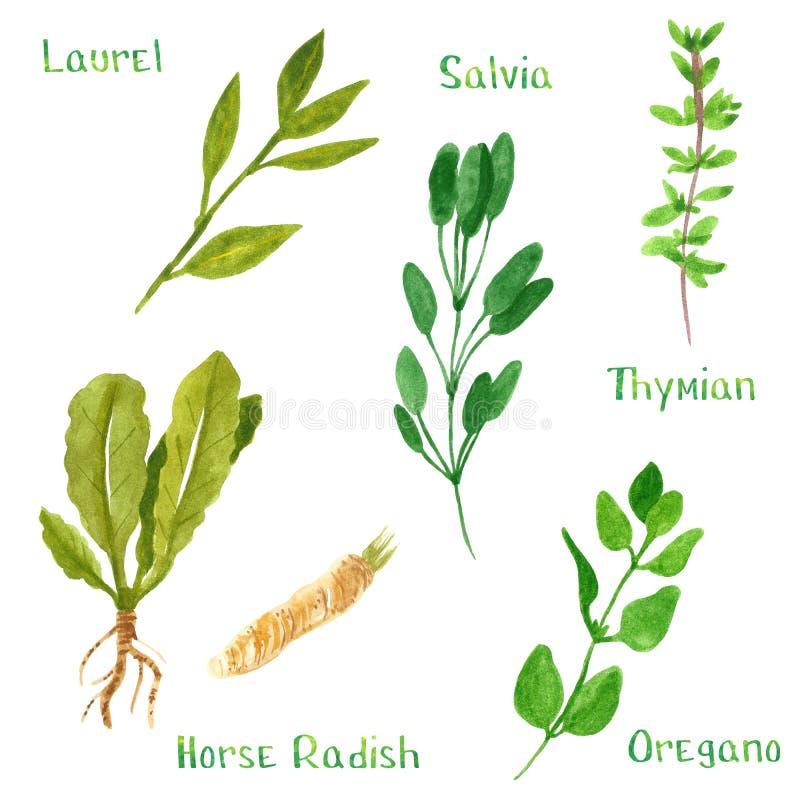Set of green herbs, laurel, horseradish, salvia, sage, thyme, oregano. Hand drawn watercolor illustration isolated on white royalty free illustration