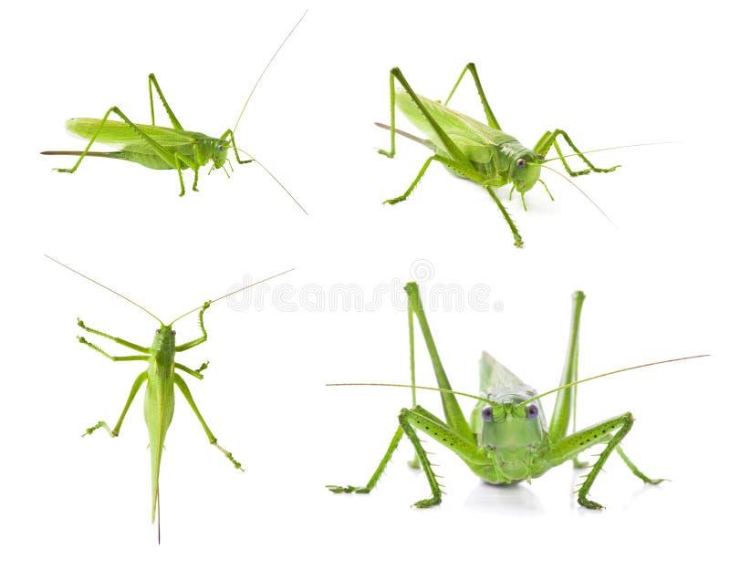 Set of green locusts on white background stock photos