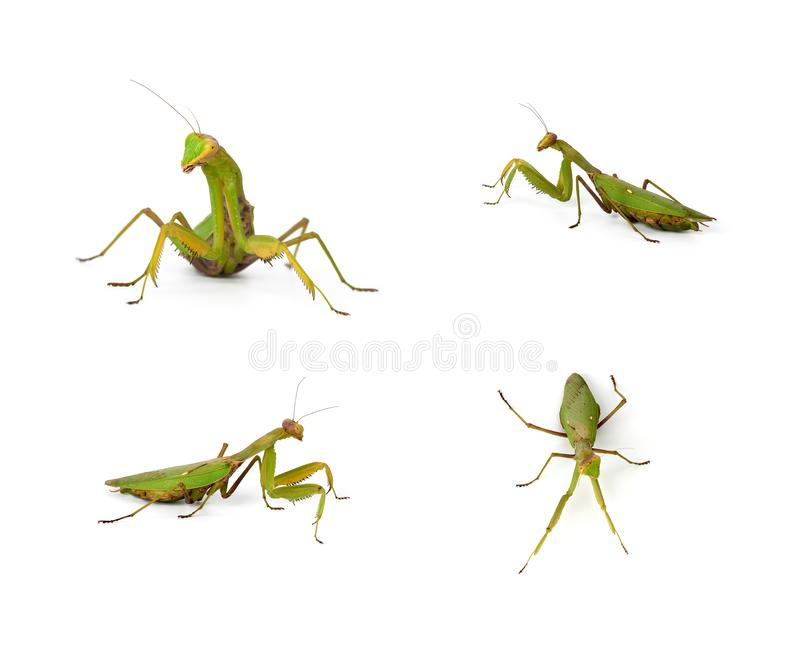 Set of green mantis insects in different poses on a white background royalty free stock photos