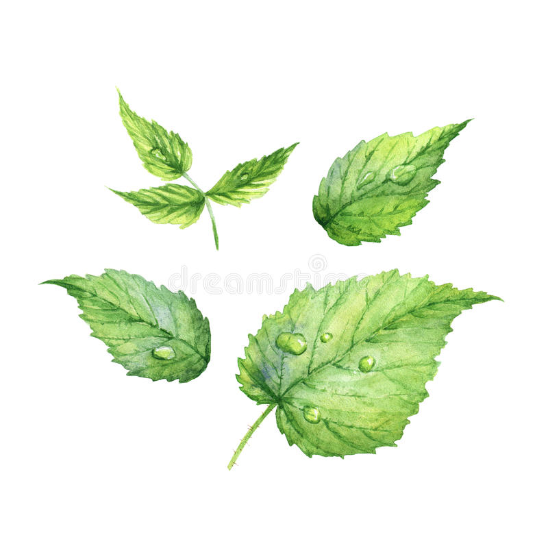 Set of green realistic watercolor raspberry leaves stock illustration