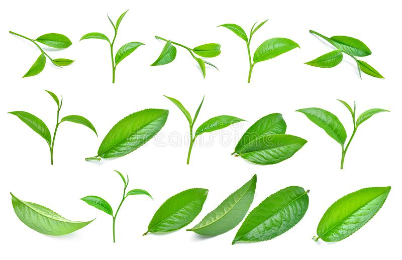 Set of green tea leaf isolated on white. Background stock images