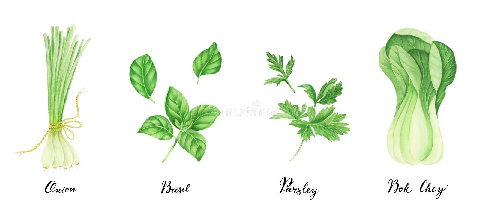 Set of green vegetables with lettering: onion, parsley, basil and bok choy, watercolor painting. stock illustration
