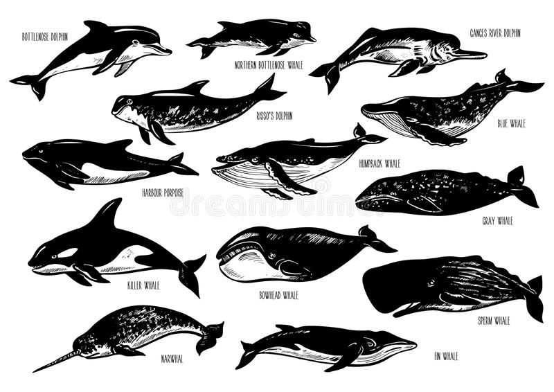 Set of hand drawn dolphins and whales. stock illustration