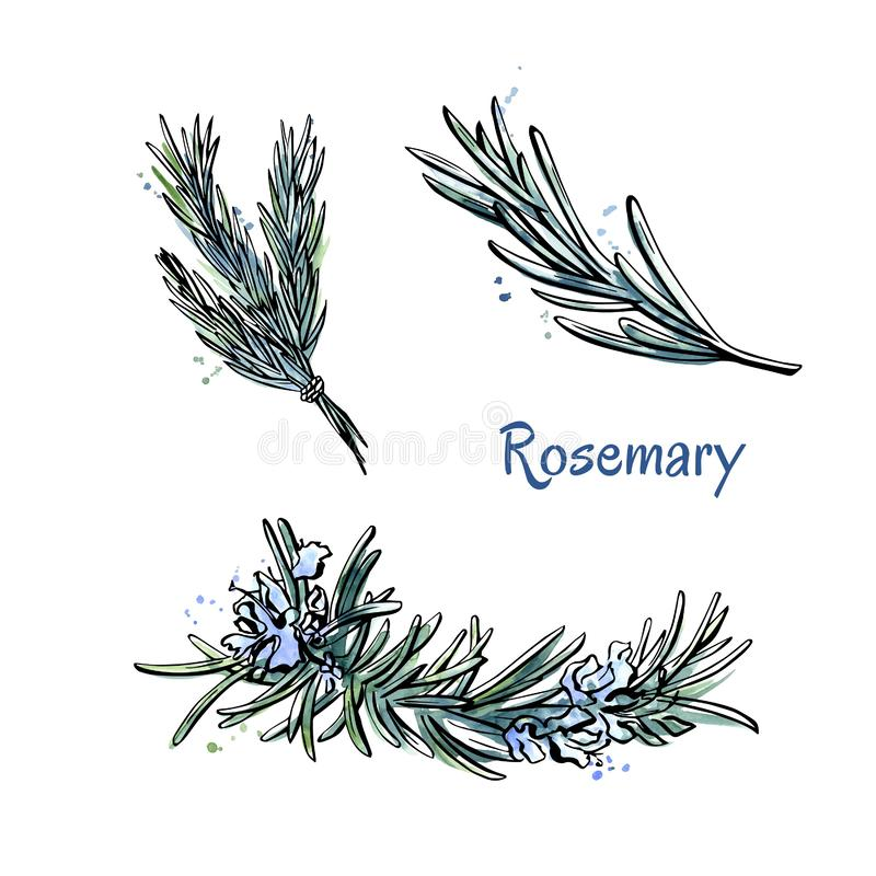 Set of hand drawn elements Rosemary vector illustration