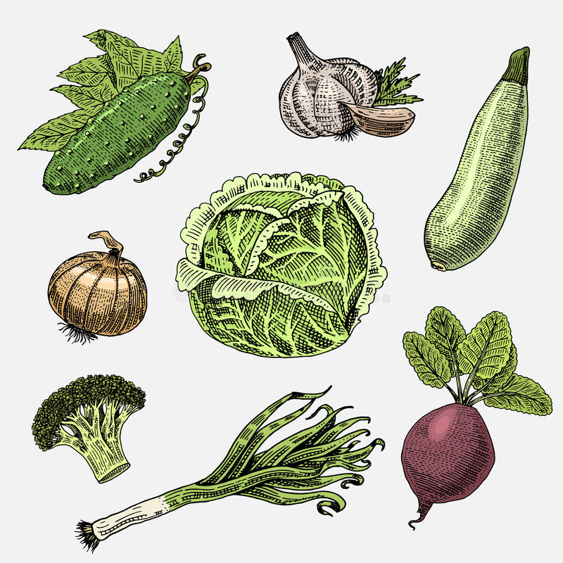 Set of hand drawn, engraved vegetables, vegetarian food, plants, vintage looking cabbage, cucumber and zucchini. Beetroot, leeks, onion and garlic vector illustration