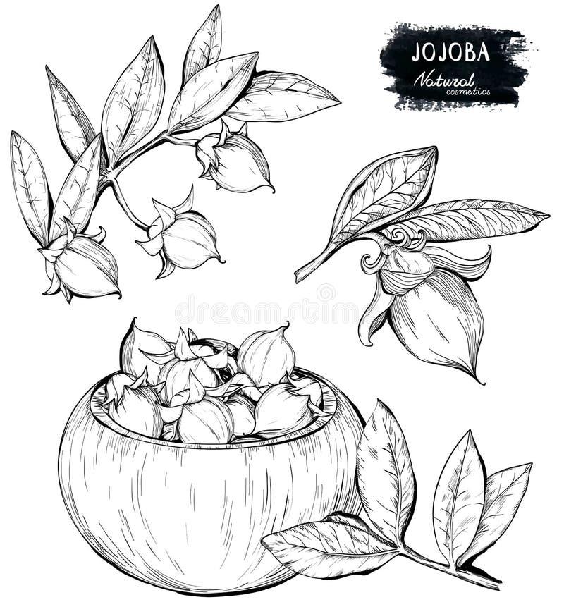 Set of hand drawn organic Jojoba branch and nuts vector illustration