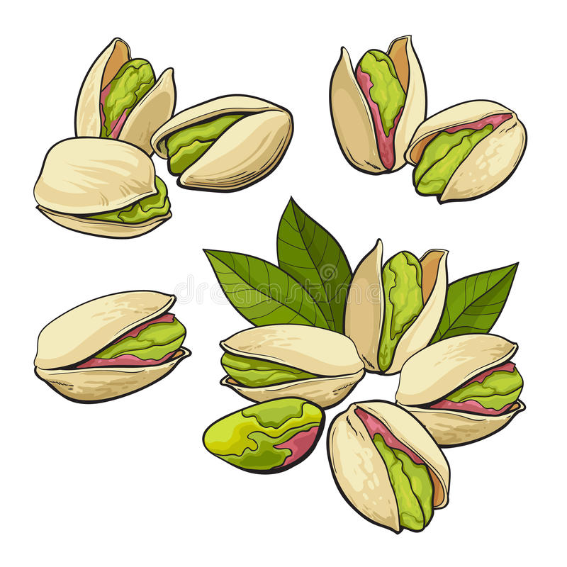 Set of hand drawn pistachio nuts, single and grouped. Set of pistachio nuts, single and grouped, sketch style vector illustration isolated on white background stock illustration
