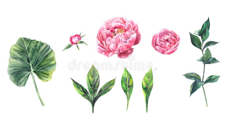 Set of watercolor illustrations of flowers peonies and leaves stock images