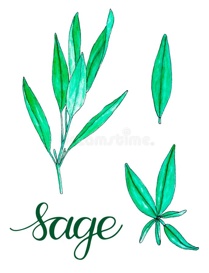Set of hand painted watercolor sage isolated on white. Hand drawn illustration of tea herbs for textile, packaging or scrapbooking stock illustration