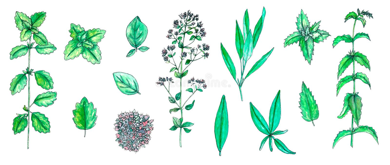 Set of hand painted watercolor sage, mint, balm, oregano isolated on white royalty free illustration