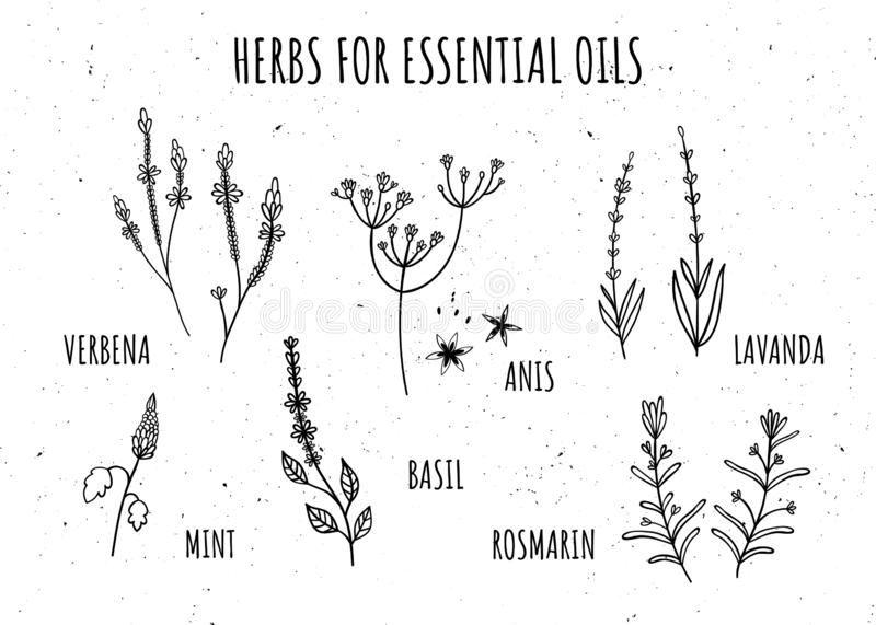 Set of herbs for essential oils. Hand-drawn style. Monochrome. Verbena, anise, Basil, rosemary, lavender, mint. Isolate vector illustration