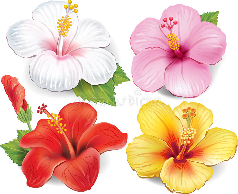 Set of Hibiscus. Set of four Hibiscus in different colors