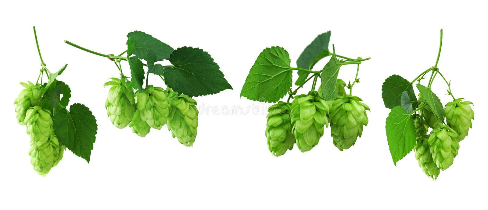 Sprigs of hop with cones and green leaves. Isolated on a white background without shadow. Set of hop cones. Close-up. branches hop stock image