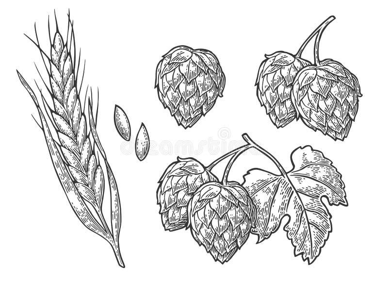 Set hop herb plants with leaf and Ear of wheat. Vector vintage engraved illustration. stock illustration