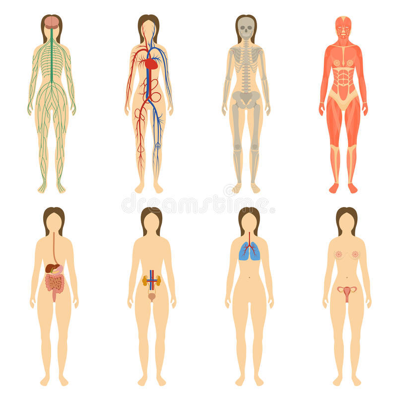 Set of human organs and systems of the body stock illustration
