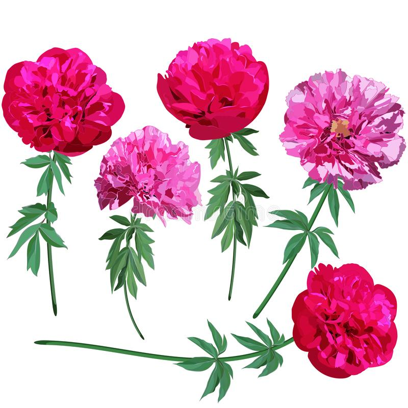 Set of images of pink and red peonies on stems isolated on white background royalty free illustration